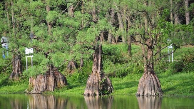 cây thủy tùng daklak
